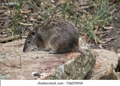 the long nose potoroo is eating off the rock