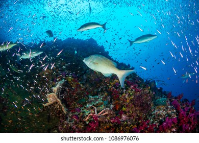 Long nosed Emperor hunting on a tropical coral reef