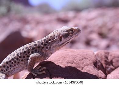 A long nosed leopard lizard in the desert.