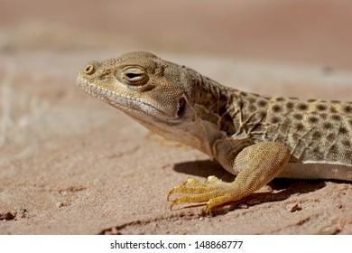 Long nosed leopard lizard - [gambella wislizenii]