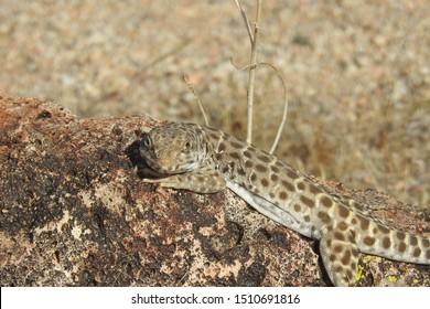 Long - nosed leopard lizard, Mojave Desert, California.