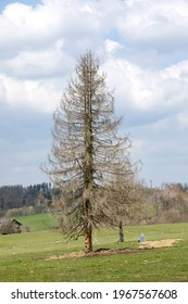 Long periods of drought and the bark beetle destroyed this spruce