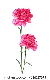 A long pink carnations