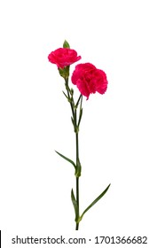 A long pink carnations on white background