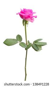 Long pink rose on a white background
