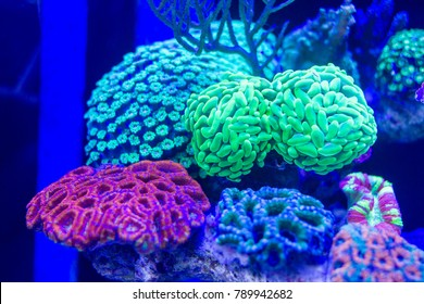 Long Polyps Stony Coral such as Hammer coral, Acan Brain coral and Flower pot coral