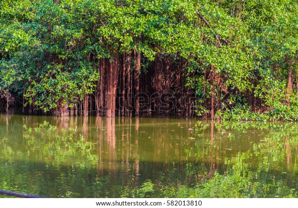 Long red roots of mangrove tree on water