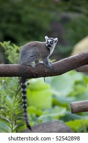 Long Ring-tailed lemur of a tail