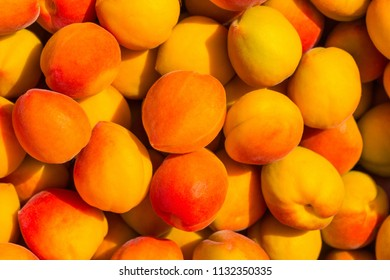 The long ripe apricot has hung all over the branch, is also an abundant harvest season
