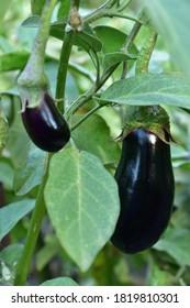 Long ripe violet eggplants growing on the bush