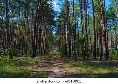 Long road in a pine forest. The summer heat