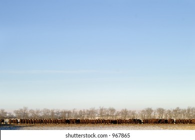 A long row of cattle eating at a feedlot.