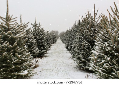 Long row of Pine Trees in the snow.