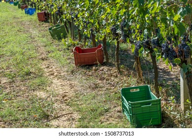 Long row of plastic crates for harvesting black grapes in a Tuscan vineyard during the harvest