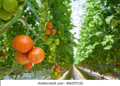 Long rows of tomato plants growing on substrate in a large Dutch greenhouse.