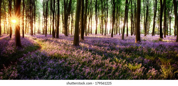 Long shadows in bluebell woods at sunrise