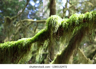 Long shaggy green moss growing on a branch in the rain forest at Cathedral Grove on Vancouver Island