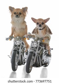 long and short haired chihuahua's riding on motorcycles on white background