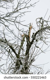 Long shot of a broken tree covered in thick ice during winter storm of freezing rain.