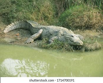 Long shot of a Crocodile at mini zoo in Tilyar Lake , Haryana - India