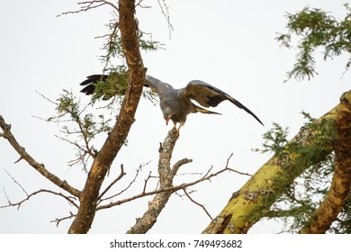 Long shot of eagle perching on top of dry branch