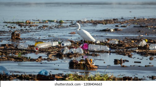 Long shot of Egretta garzetta walking between many plastic bottles and garbage