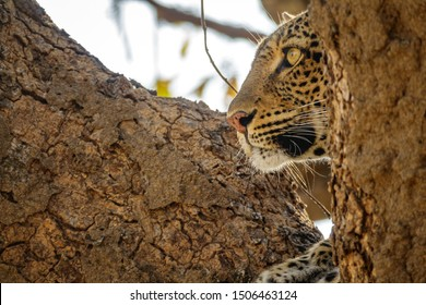 Long shot profile view of leopard face over the tree looking for preys