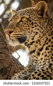 Long shot profile view of leopard face over the tree looking to the horizon for preys