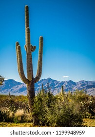 A long slender Saguaro Cactus in Saguaro National Park, Arizona