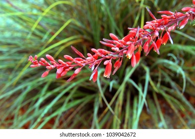 Long stem of the Red Yucca plant has clusters of red flowers blooming from the stem.