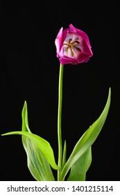 A long stemmed purple or violet tulip bloom showing deep inside the flower against black background.