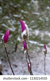 Long stems of colorful magenta, tightly furled flowers with bright magenta petals and softly haired buds covered in an early spring snow
