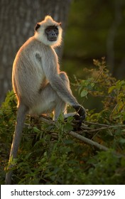Long tail monkey, Hanuman Langur Semnopithecus entellus, sitting on tree in backlight making golden contour on its fur, staring directly at camera in Sri Lanka forest. Dark green colorful background.