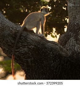 Long tail monkey, Hanuman Langur Semnopithecus entellus, sitting on tree in backlight making golden contour on its fur, staring directly at camera in Sri Lanka forest. Early morning golden light.
