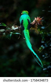 Long tail Quetzal, Pharomachrus mocinno, from  nature Costa Rica with green forest. Magnificent sacred mistic green and red bird. Resplendent Quetzal in jungle habitat. Widlife scene from Costa Rica.