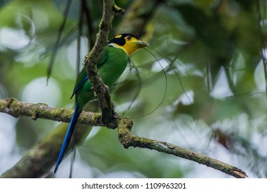 Long Tailed Broadbill. Carrying materiel to build nest. photo taken at Fraser Hill, Pahang.