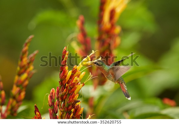 Long tailed green hummingbird Glaucis hirsutus Rufous-breasted Hermit feeding from cluster of yellow flowers. Green blurry flowers and plants in background. Wildlife photography, Asa Wright, Tobago.