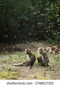 Long tailed macaque couple with a baby carried by the female sitting down on a forest ground