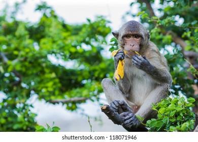 Long Tailed Macaque Monkey eating banana on tree