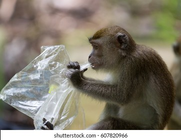 Long tailed macaque monkey eating plastic bag in Bako national park in Borneo, Malaysia