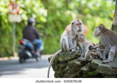 Long Tailed Macaque Monkey Family next to street in Ubud, Bali, Indonesia