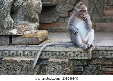 Long Tailed Macaque monkey, in a temple eating