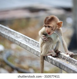 Long tailed macaque monkeys relaxing at Prang Sam Yot temple ruins. Lopburi, Thailand travel destinations