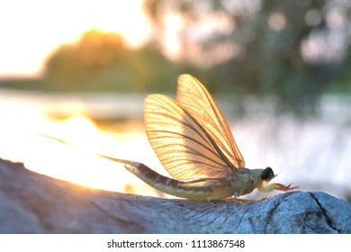 Long tailed mayfly or tisa mayfly (Palingenia longicauda) against light