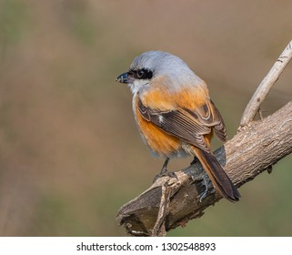 Long tailed Shrike roost on tree branch at Keoladeo National Park, Bharatpur, Rajasthan, India