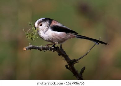 Long Tailed Tit, Aegithalos caudatus, sitting on a branch with a beak full of moss for nest building. Taken at Stanpit Marsh UK