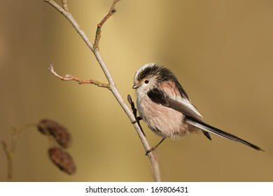 Long tailed tit on branch in winter
