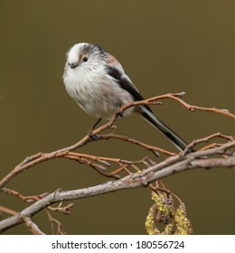 Long tailed Tit perched on a twig in springtime