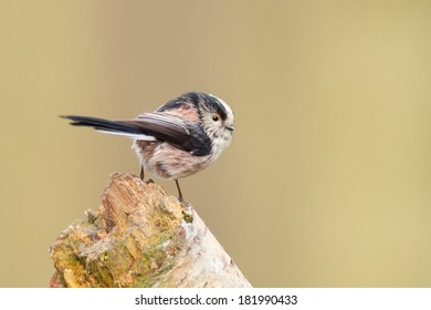 Long Tailed Tit perched on a tree stump