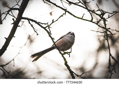 Long Tailed Tit sitting on a branch with warm golden light